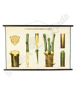 Botanische schoolplaat enten No. 7