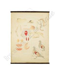 Anatomische schoolplaat 'Vogel'