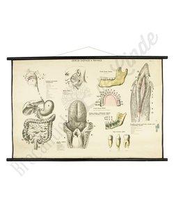 Anatomische schoolplaat spijsvertering
