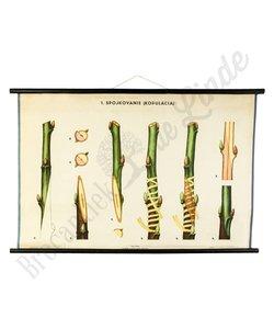 Botanische schoolplaat enten No. 1