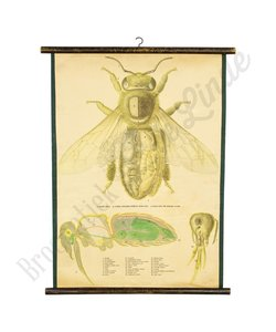 Zoölogische schoolplaat honingbij
