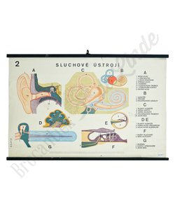 Anatomische schoolplaat gehoor No. 2