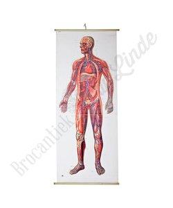 Anatomische plaat 'Menselijk lichaam'