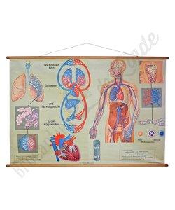 Anatomische schoolplaat 'Bloedvaten'