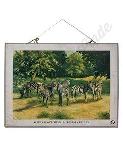 Zoölogische schoolplaat 'Zebra's'