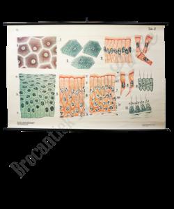 Anatomische schoolplaat 'Embryologisch'