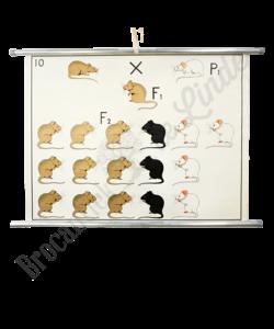 """Scheikundige schoolplaat """"Fenotype No.2"""""""