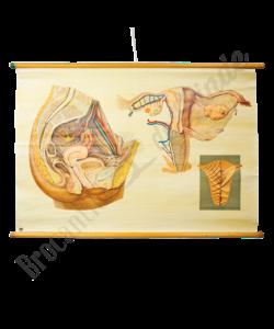 """Anatomische schoolplaat """"Geslacht vrouw"""""""