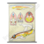 """Anatomische schoolplaat """"Chordata & vis"""""""