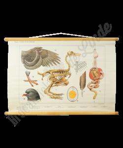 """Anatomische bijplaat """"Vogels"""""""