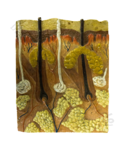 Anatomisch model 'Huid'