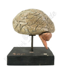 Anatomisch model hersen No.2
