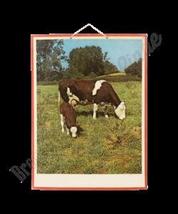 Zoölogische schoolplaat 'Koeien'