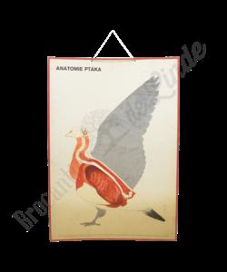 Schoolplaat 'Anatomie vogel'