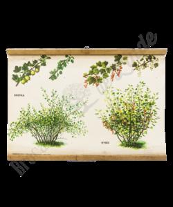 Botanische schoolplaat kruisbes