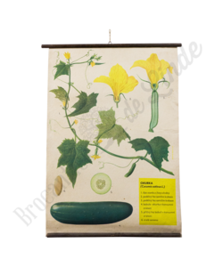 Botanische schoolplaat (Komkommer)