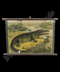 Zoölogische schoolplaat (Krokodil)