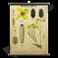 Zoölogische schoolplaat (Pollen kever)