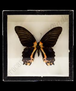 Vlinderlijst No. 26