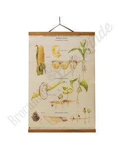 Botanische schoolplaat - Ontwikkeling mais/den/boon