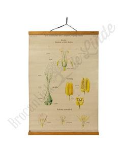 Botanische schoolplaat - Samenstelling bloem