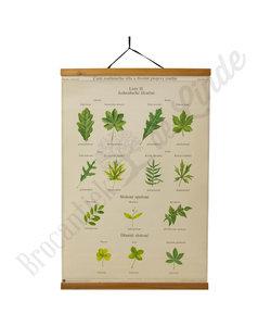 Botanische schoolplaat - Bladeren No. 1