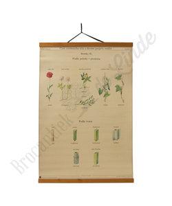 Botanische schoolplaat - Stengels
