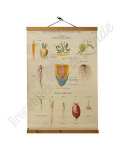 Botanische schoolplaat - Wortels