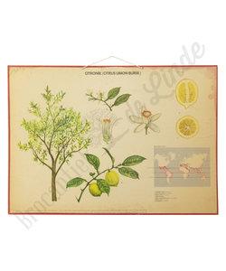 Botanische schoolplaat - Citroenboom