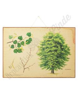 Botanische schoolplaat - Winterlinde