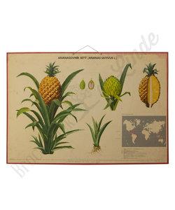 Botanische schoolplaat - Ananas