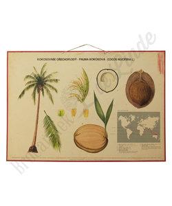 Botanische schoolplaat - Kokos palm