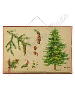 Botanische schoolplaat - Fijnspar