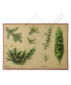 Botanische schoolplaat - Venijnboom&Jeneverbes