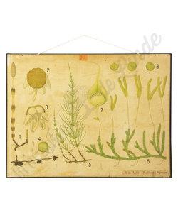 Botanische schoolplaat - Eug Warming Heermoes No. 1