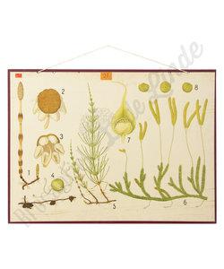 Botanische schoolplaat - Eug Warming Heermoes No. 2