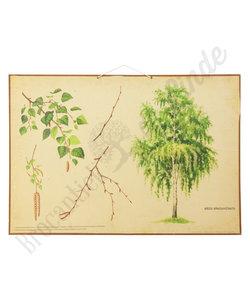 Botanische schoolplaat - Ruwe berk