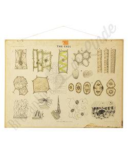 Botanische schoolplaat - Planten cellen