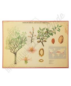 Botanische schoolplaat - Amandelboom