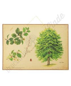 Botanische schoolplaat - Beukeboom
