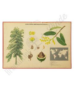 Botanische schoolplaat - Paranotenboom