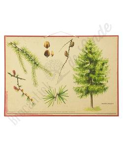 Botanische schoolplaat - Europese lork