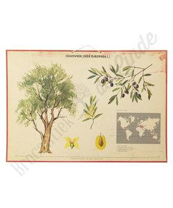 Botanische schoolplaat - Olijfboom