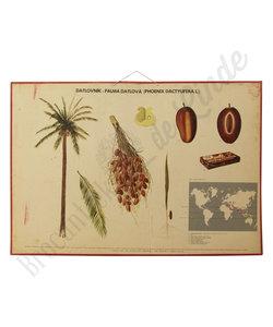 Botanische schoolplaat - Phoenix palm