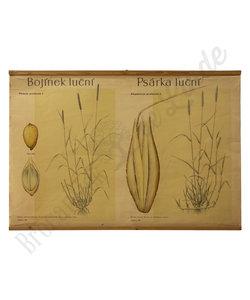 Botanische schoolplaat - Doddengras