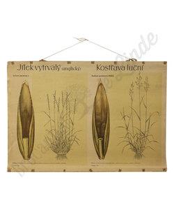 Botanische schoolplaat - Engels raaigras