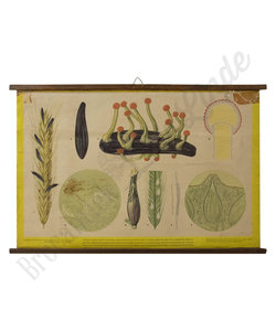 Botanische schoolplaat - Moederkoorn