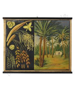 Botanische schoolplaat - Phoenix dadelpalm