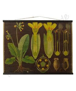 Botanische schoolplaat - Sleutelbloem