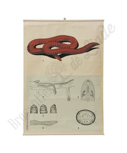 Zoölogische schoolplaat - Regenworm